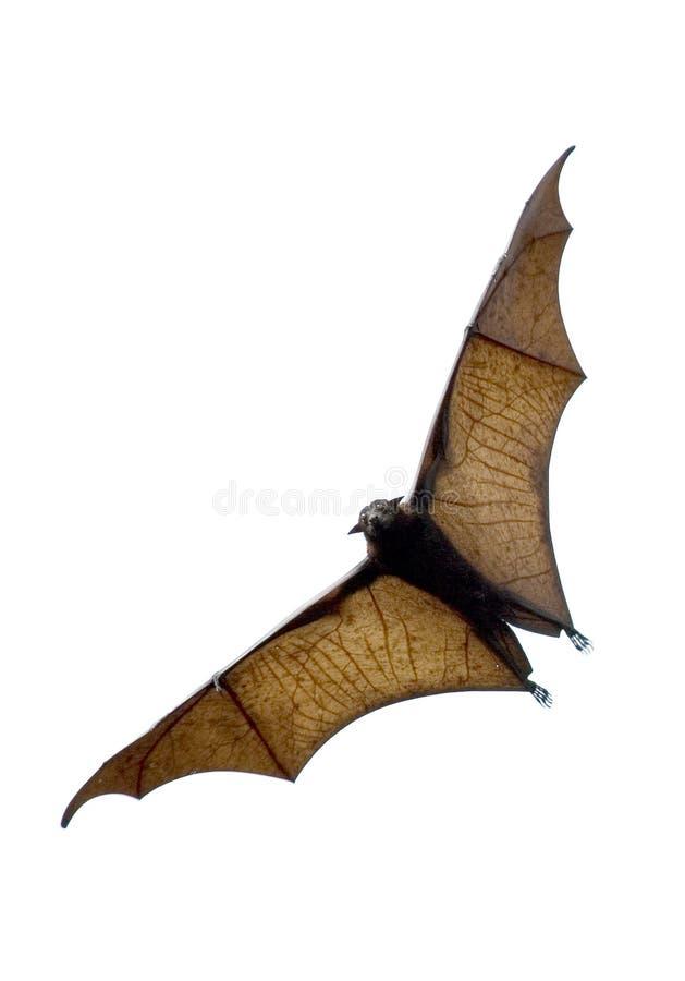 Летучая мышь стоковое изображение rf
