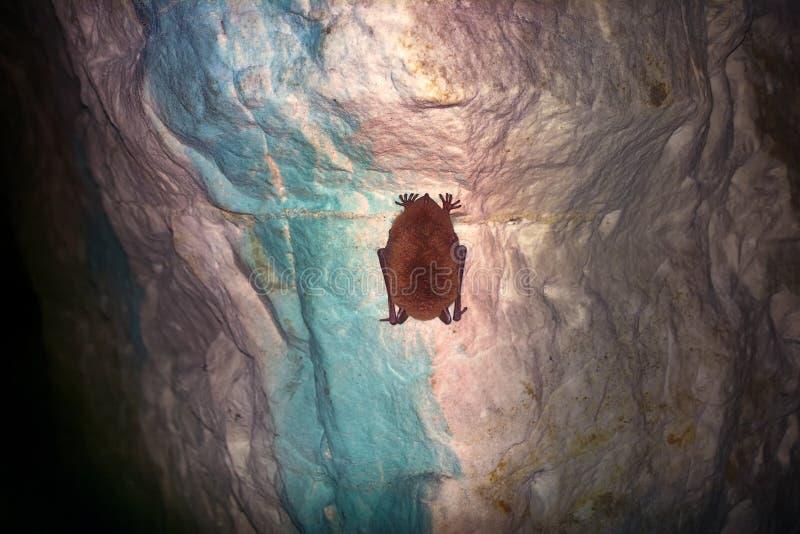 Летучие мыши как жителя пещер и подземелиь стоковое фото rf