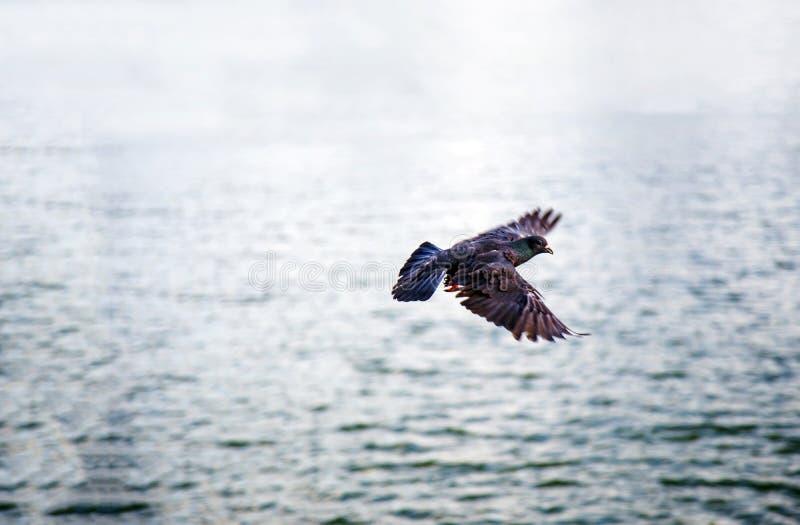 Летящая птица на море воды с ослабляет природу стоковое фото rf