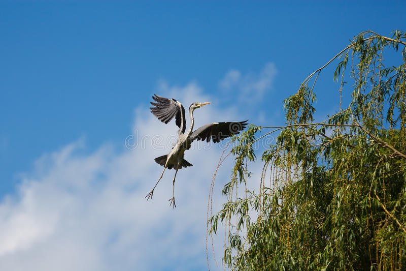 Летящий журавль стоковые фотографии rf