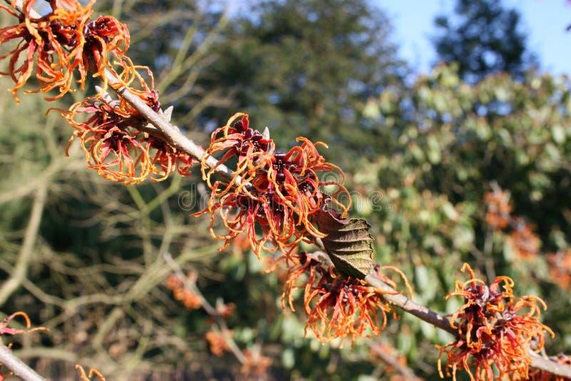 лещина hamamelis или ведьмы цветя в предыдущей весне стоковое фото rf
