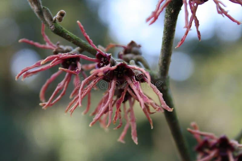 лещина hamamelis или ведьмы цветя в предыдущей весне стоковые изображения