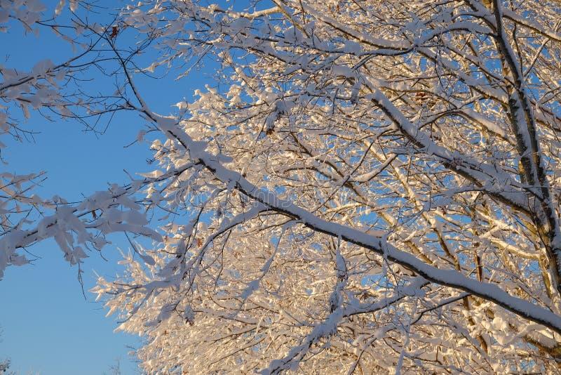Лед и снег покрыли чуть-чуть ветви дерева во время солнца раннего утра стоковые фотографии rf