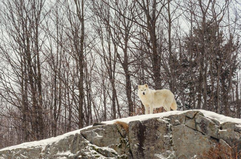 Ледовитый волк в зиме (парк омеги Квебека) стоковое фото rf