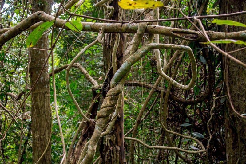 Лиана леса джунглей длинн-запрудила древообразные лозы стоковая фотография
