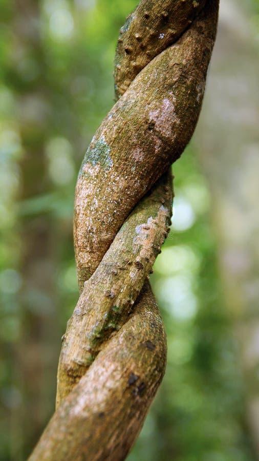 Download Лианы обматывая через тропический лес. Стоковое Изображение - изображение насчитывающей гигантско, пуща: 37929213