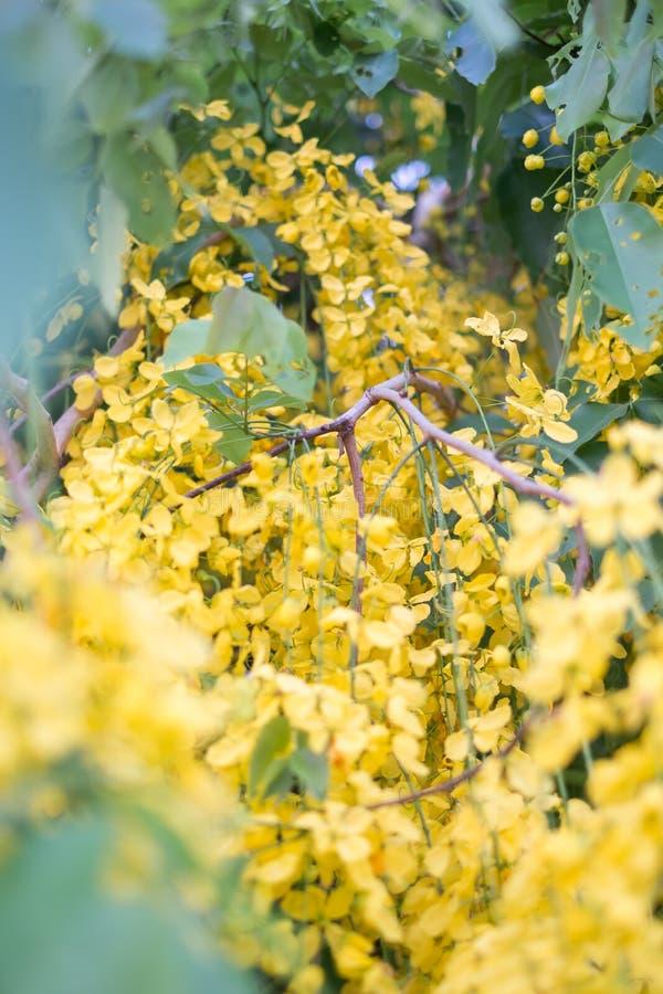 Ливень красивых цветков золотой стоковые фото