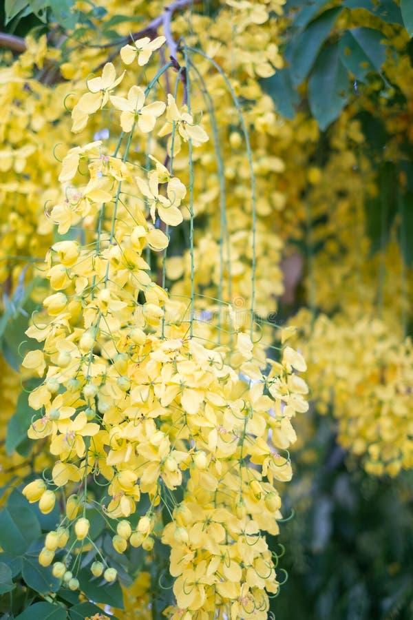 Ливень красивых цветков золотой стоковые фотографии rf