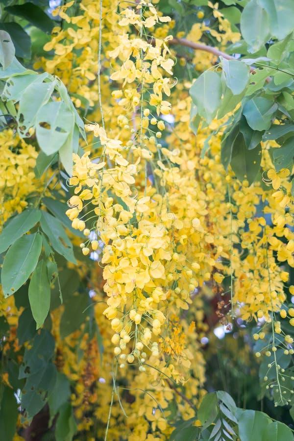 Ливень красивых цветков золотой стоковая фотография rf