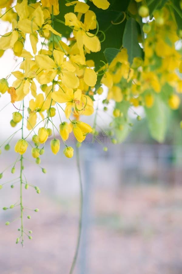 Ливень красивых цветков золотой стоковые изображения