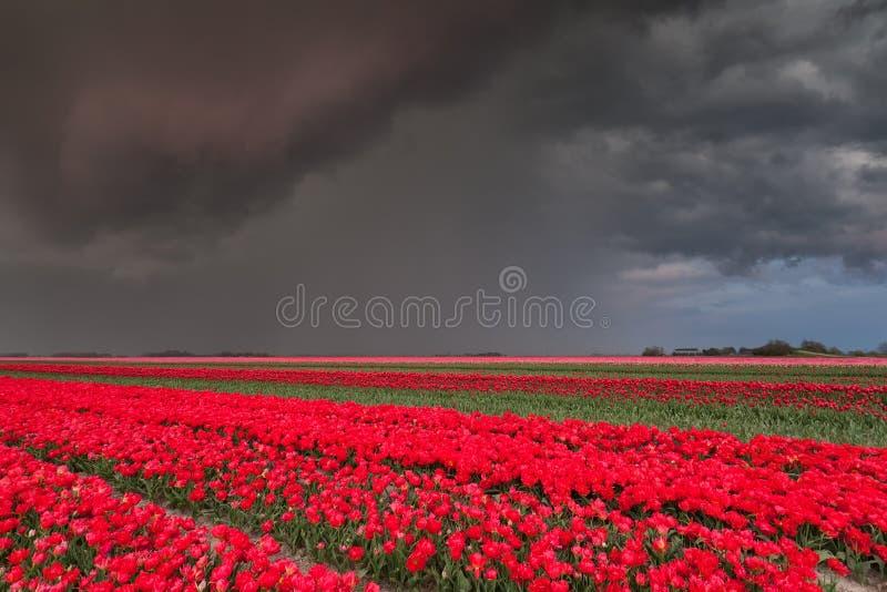 Ливень над полем тюльпана стоковая фотография