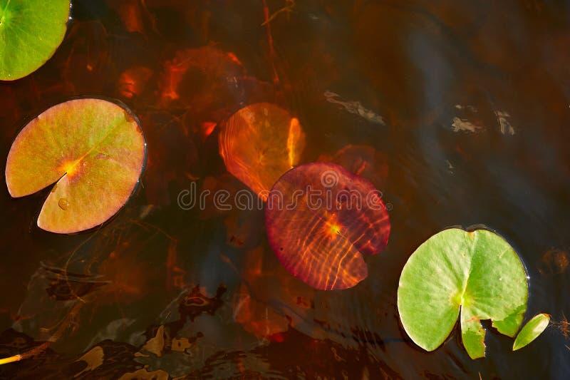 Лилии воды зацветая весной стоковая фотография rf
