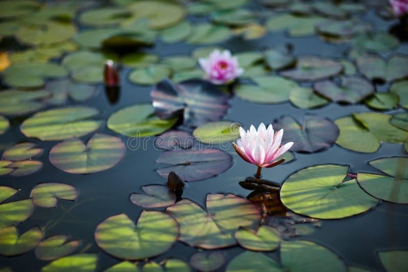 Лилии воды и лилии на конце воды вверх внутри под открытым небом стоковая фотография rf