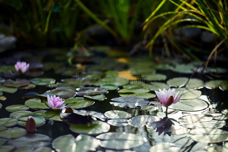 Лилии воды и лилии на конце воды вверх внутри под открытым небом стоковое изображение