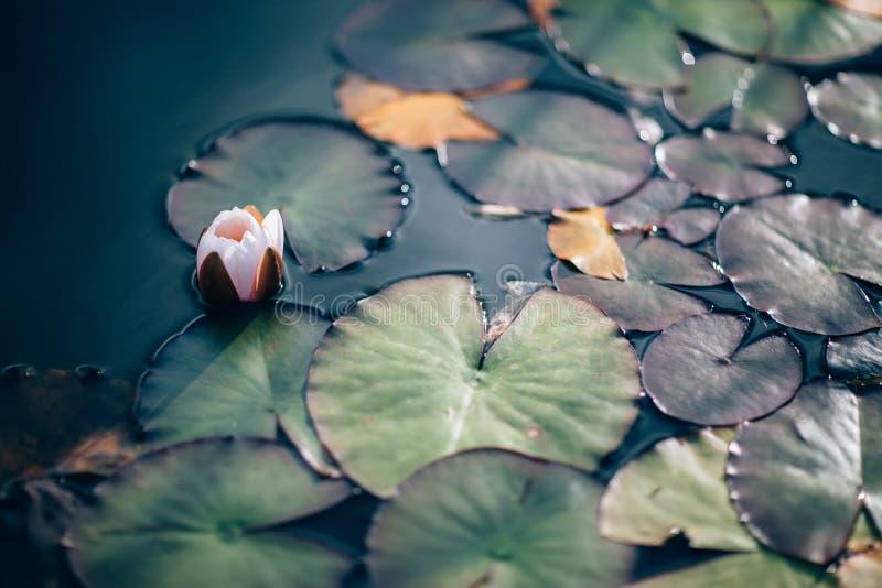 Лилии воды и лилии на конце воды вверх внутри под открытым небом стоковые фото