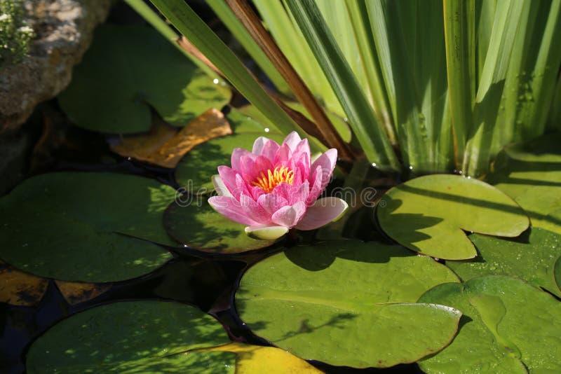 Лилии воды стоковая фотография