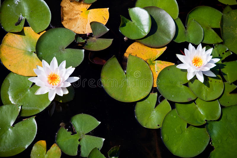 лилии покрывают вода 2 взглядов стоковая фотография