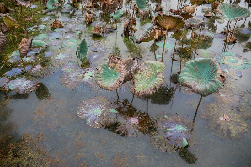 Лилии пруда Waterlily, сухих и мертвых воды, мертвый цветок лотоса, красивая покрашенная предпосылка с лилией воды в пруде стоковое изображение rf