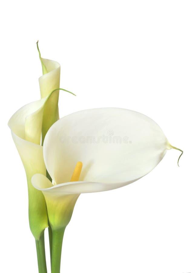 лилии calla белые стоковое изображение
