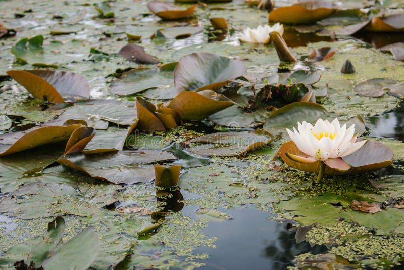 Лилия белой воды в пруде лета Зацветая белый лотос с большими листьями Концепция природы лета Природа земли болота стоковые изображения
