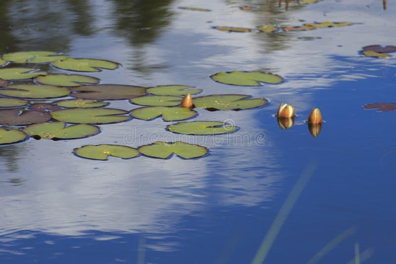 Лилия белой воды в пруде стоковое изображение rf