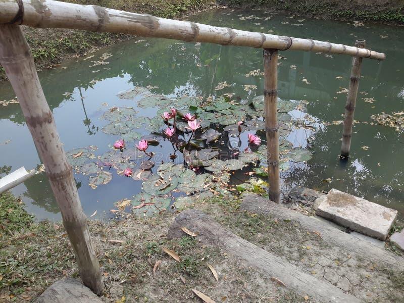 Лилия воды в пруде стоковое фото