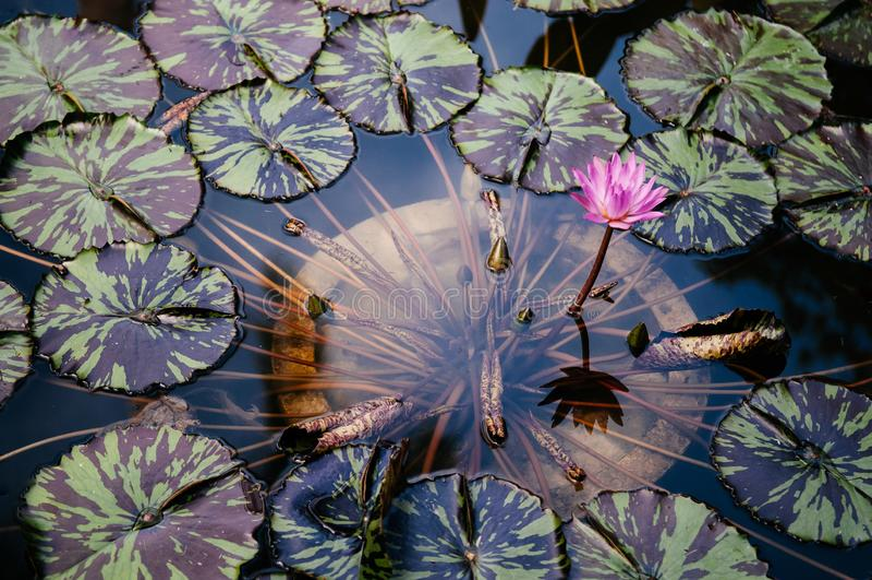 Лилия воды звезды полного цветения розовая с 2 листьями тона стоковая фотография rf