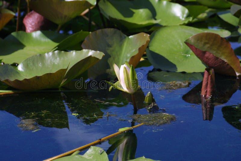 Лилия воды перед полностью цветенем стоковое фото