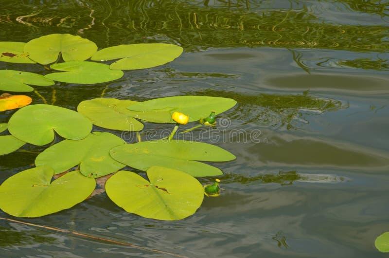 Лилия воды с желтыми цветками на озере в Польше - каникулы и летнее время стоковое изображение