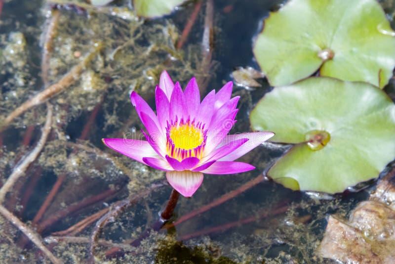 Лилия воды цветения фиолетовая, nouchali Nymphaea стоковое фото rf