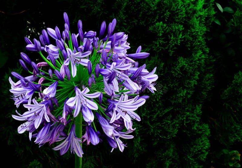 Лилия голубой и пурпурной накидки африканской лилии цвета голубая зацветая в саде с темной предпосылкой сосны стоковая фотография rf