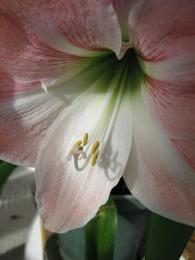 Лилия звезды ` s рыцаря Hippeastrum амарулиса стоковое фото rf