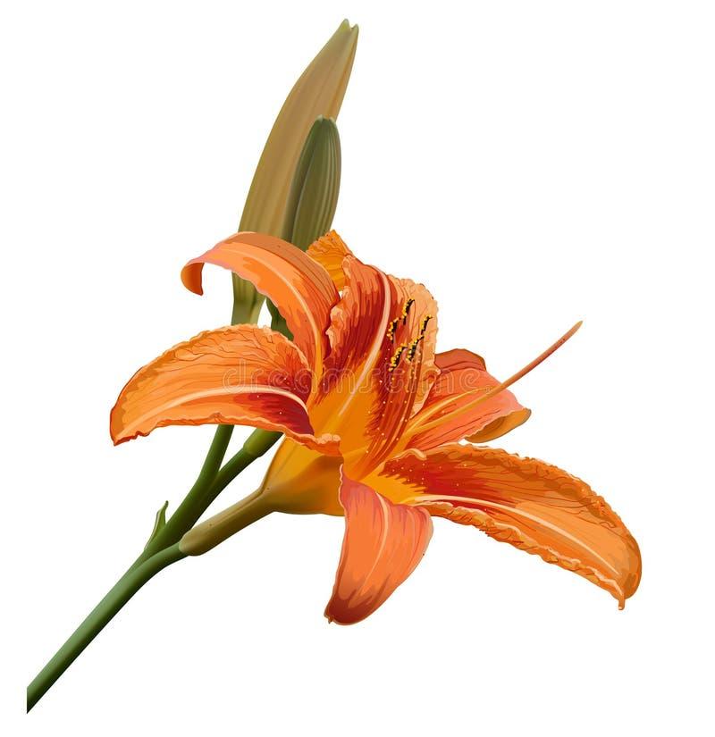 лилия иллюстрации цветка бесплатная иллюстрация