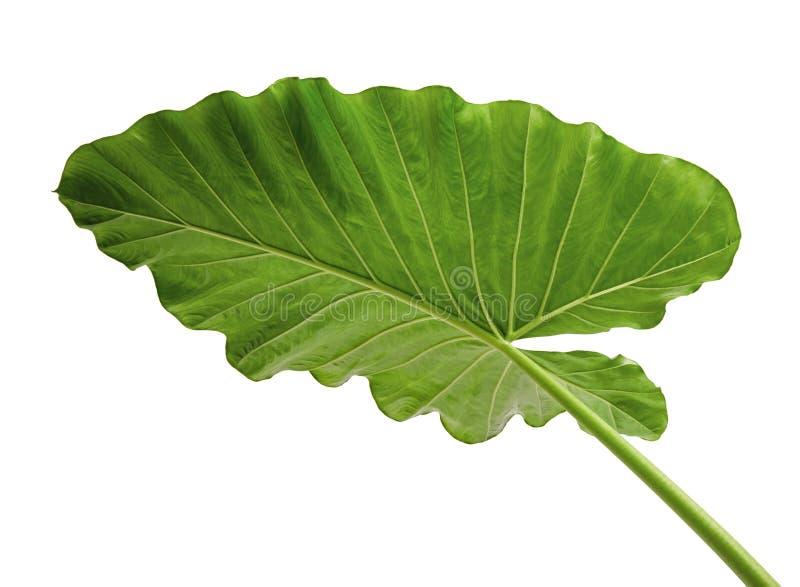 Лилия листвы odora Alocasia Ноч-пахнущая или гигантское чистосердечное ухо слона, экзотические тропические лист, изолированные на стоковые изображения rf