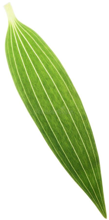 лилия листьев стоковые изображения