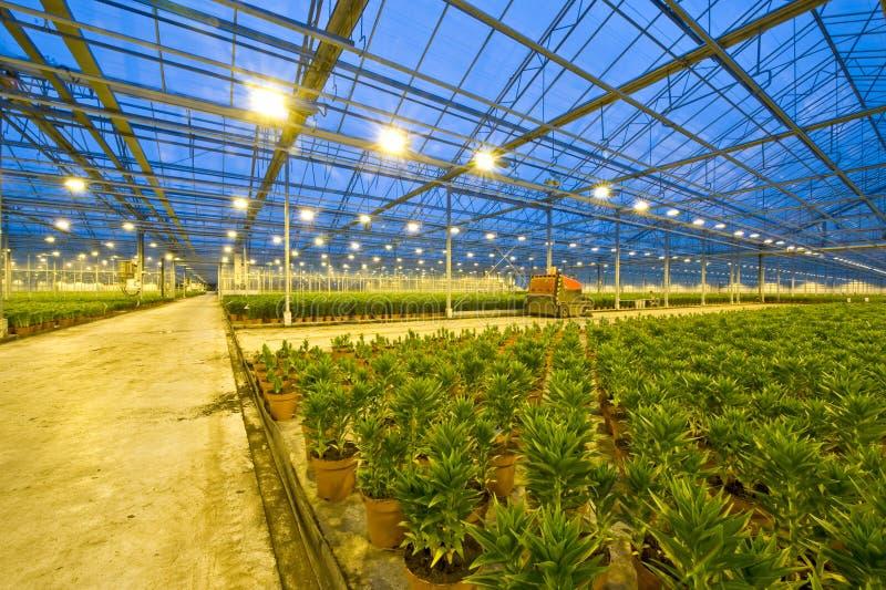 лилия садоводства стоковая фотография rf