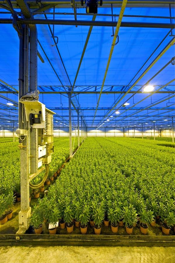 лилия садоводства стоковые фото