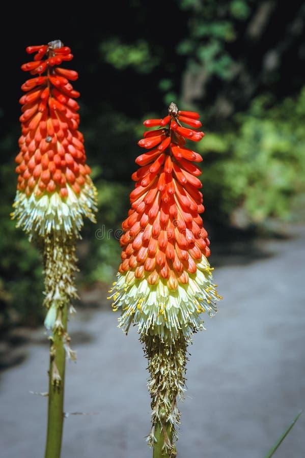 Лилия факела в саде стоковое изображение rf