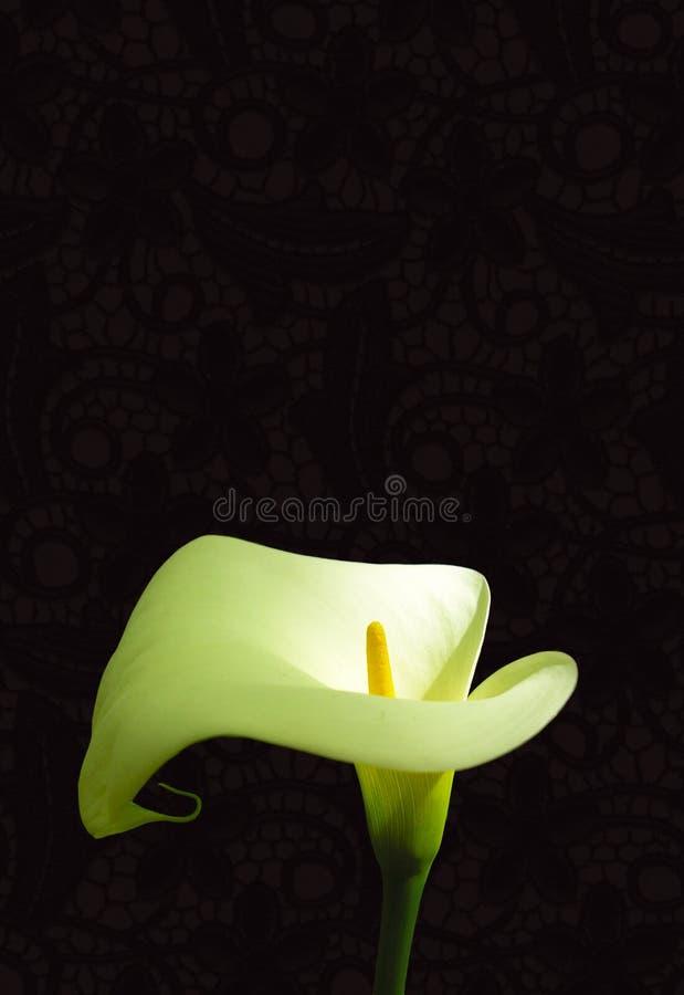 лилия arum стоковые фото