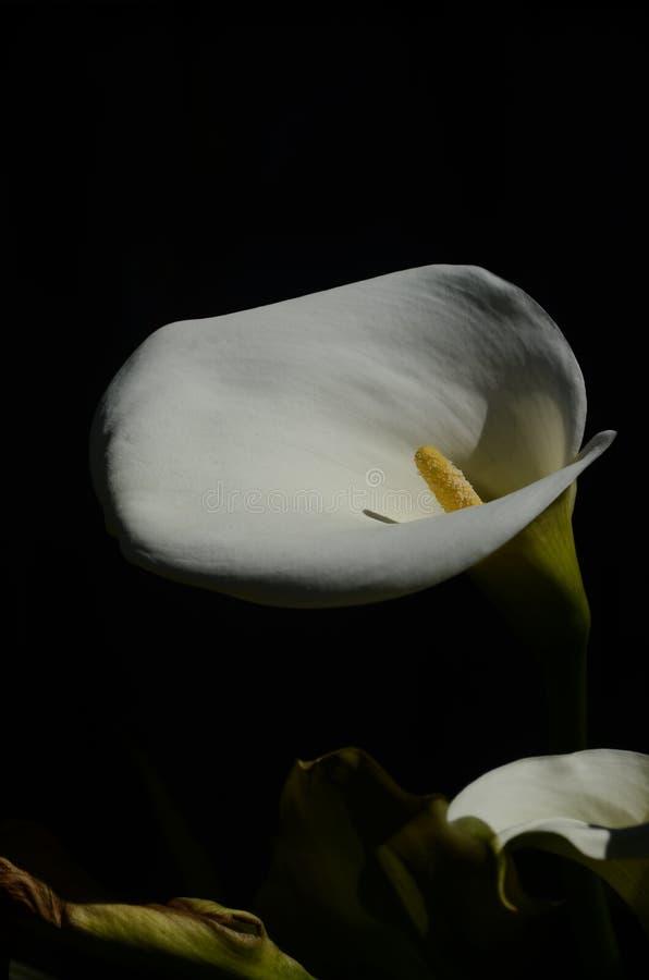 Лилия Calla стоковые изображения rf