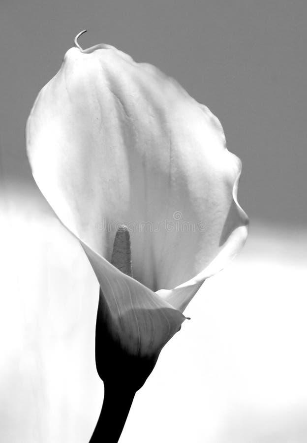 лилия calla стоковое фото rf