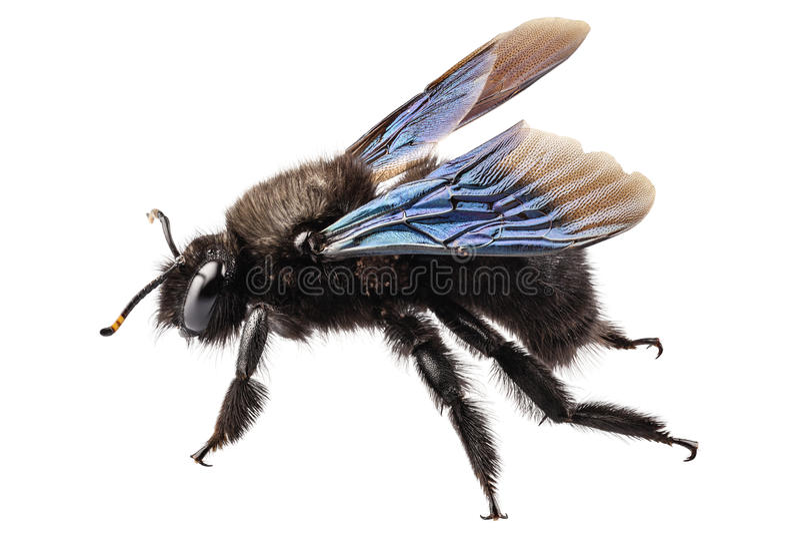 Лиловое violacea xylocopa вида пчелы плотника стоковая фотография