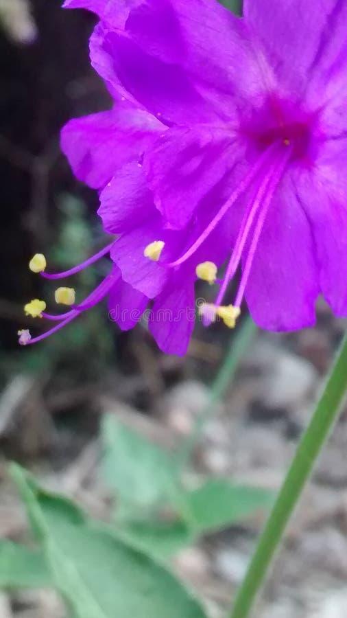 Лиловый цветок стоковая фотография rf