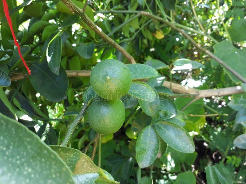 Лимоны близнецов стоковые изображения