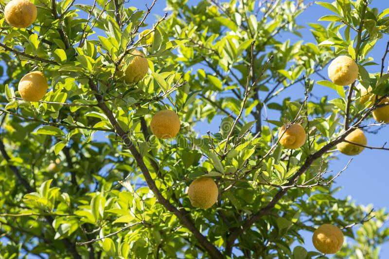 Лимоны растя в саде в Перте, западной Австралии стоковые фотографии rf