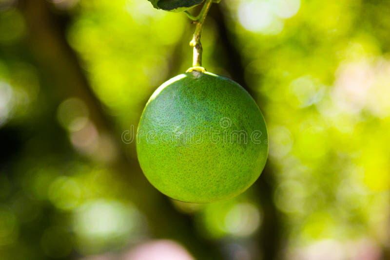 Лимон на дереве лимона стоковая фотография