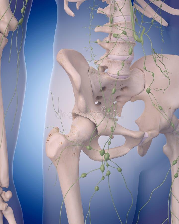 Лимфатическая система - брюшко иллюстрация вектора