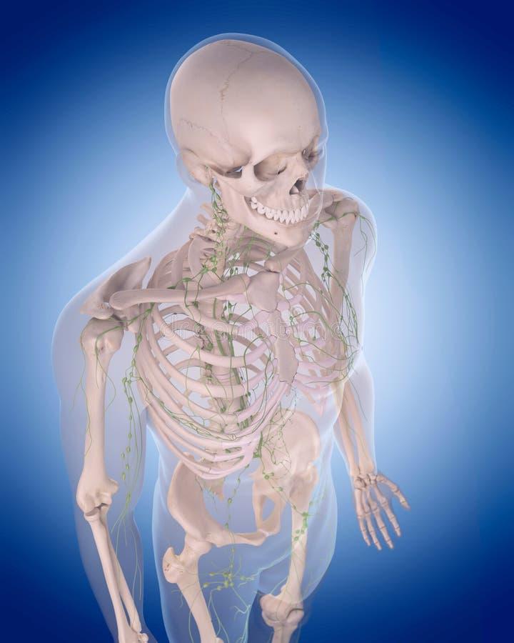 Лимфатическая система - торакс иллюстрация вектора