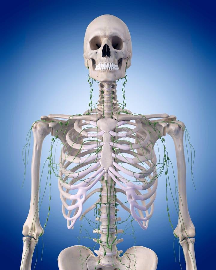 Лимфатическая система - торакс иллюстрация штока