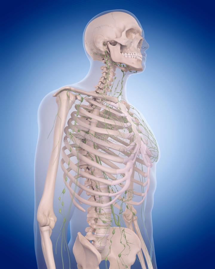 Лимфатическая система - торакс бесплатная иллюстрация